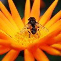 Пчела :: Damir Si