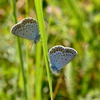 Бабочки - голубянки :: Геннадий С.
