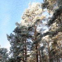 А сосны стройными рядами Стояли вдоль лесной тропики... :: Анатолий Клепешнёв