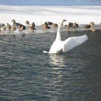 Глядь — поверх текучих вод лебедь белая  плывет! :: Наталья