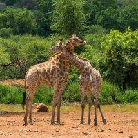 Нежность. Pilanesberg national park. ЮАР :: Ирина Кеннинг