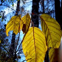 Листья жёлтые надо мной кружатся.... :: оксана
