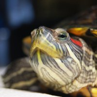 красноухая черепаха,Винтик :: Galina Belugina