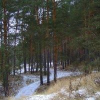 да лес без снега зеленеет... :: Галина Филоросс