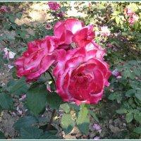 Розы парка Ривьера в Сочи :: Tata Wolf