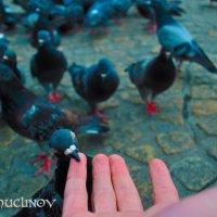 Голодный голубь :: Лев Shuclo