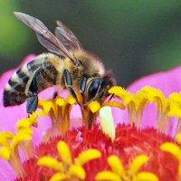 Пчелка :: Александр Резуненко