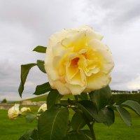 Роза. :: Лия ☼