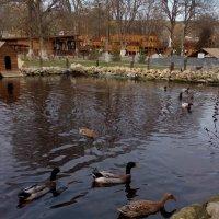 Ducks :: Наталья