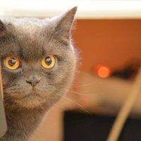 моя кошка Барселона) :: oksana Upenik