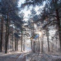 Утро в сосновом лесу. :: Анатолий Клепешнёв