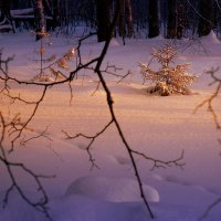 В лесу родилась ёлочка... :: Валерий Молоток