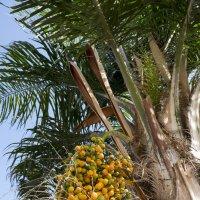 Пальма неизвестного вида :: Александр Деревяшкин