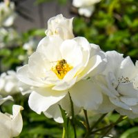 Розочка и пчёлка зимой :: Александр Деревяшкин