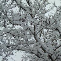 Снежные яблони. :: Валюша Черкасова