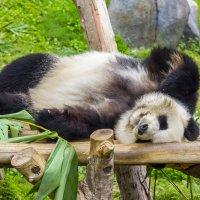 Панда :: Евгений Бубнов