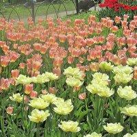 На Фестивале тюльпанов! :: Ирина