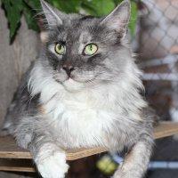 Соседский кот. :: Андрей