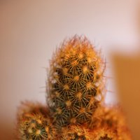 Mammillaria prolifera :: Сергей Мосякин