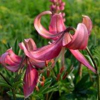 Скромные лилии :: Вера Андреева
