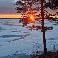 Сосна и лед. :: Сергей Адигамов