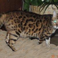 Кошка :: Наталья Чернова