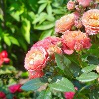 Розовые розы :: Анастасия Белякова