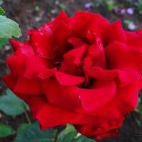 Роза. :: Антонина Гугаева