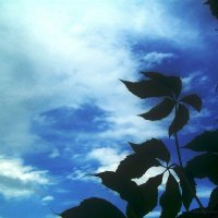 Листья на фоне неба :: Инна Буяновская