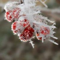 зимние ягодки :: Lena
