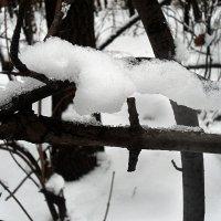 Мой ласковый и снежный зверь... :: Наталья