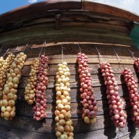 Урожай лука :: Валерий Талашов