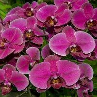 орхидея :: Dmitriy Sagurov