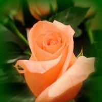 Очаровательная роза :: Сергей Карачин