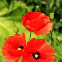 Маки самые красивые и нежные цветы :: Юлия Барило