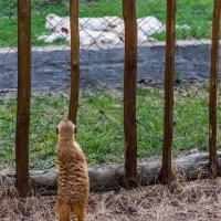 Любопытный мангуст перед клеткой с львятами :: Ирина Краснобрижая