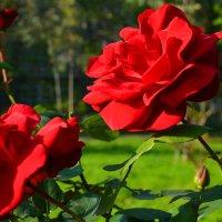 Cочинские розы :: Юлечка Ваганова