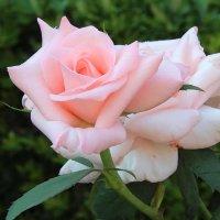 Розовая нежность. :: Маргарита ( Марта ) Дрожжина