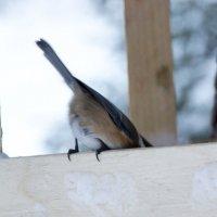 птичкин хвост :: лина сергеева