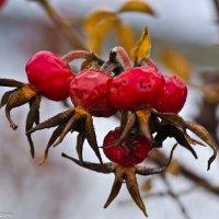 Декабрьский шиповник. :: Виктор Евстратов