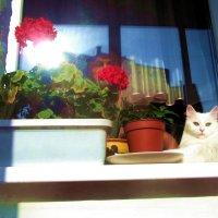 Белая кошка и красная герань на лоджии :: Владимир Ростовский