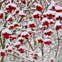 Снег на рябинушке. :: Виктор Евстратов