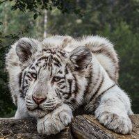 Белый тигрёнок :: Nn semonov_nn
