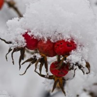 Шиповник в снегу. :: Виктор Евстратов