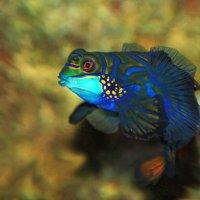 Рыбка мандаринка :: Alexander