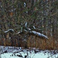 Рисунок декабрьского леса :: Svetlana27