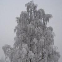 Берёзка зимняя :: laana laadas
