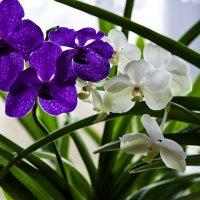 Орхидеи ванды :: Ирина Приходько