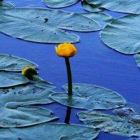 Цветок на воде :: Damir Si