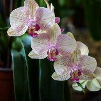 Орхидея фаленопсис Фейерверк :: Ирина Приходько